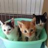 子猫の里親募集中〈ハチワレ♀茶トラ♂三毛♀〉