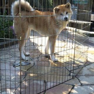 小ぶりの秋田犬の女の子です。