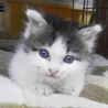 コロンちゃん。白地にキジトラの男の子。生後3週間。
