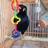 九官鳥 1歳2カ月