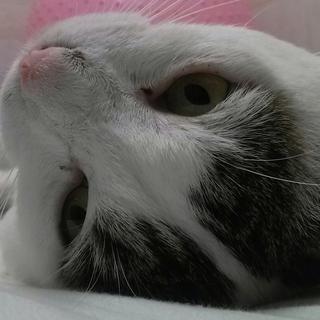 福島第一原発被害猫 ハリー ほんわかした超甘えん坊
