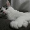 福島第一原発被害猫 ハリー ほんわかした超甘えん坊 サムネイル3