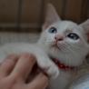 白猫ボブテイル青目のチェアさん
