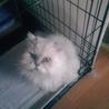 ペルシャ風の美猫ちゃんです!