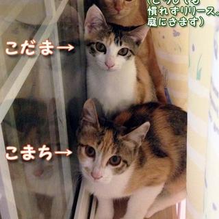美人&可愛いちゃんの三毛子猫姉妹