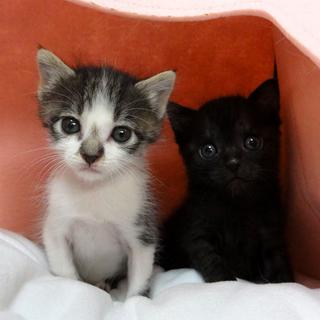 黒猫♂とキジしろ♀赤ちゃん子猫