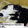 大人しくて猫付き合いの上手な賢い猫です! サムネイル3