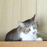 アビシニアンミックス?なイケメン猫です! サムネイル6