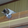 アビシニアンミックス?なイケメン猫です! サムネイル5