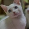 白猫青目ボブテイル、なつこいおんなのこ
