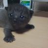 岐阜県本巣市の黒猫ちゃんです(アメショとの雑種)