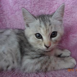 アメショーミックスのキジトラ猫。 甘えん坊な子猫
