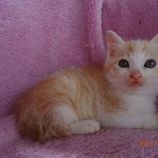 おっとりしたアイボリー色のオスの子猫