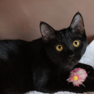 お転婆娘の7か月の黒猫ちゃん