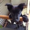 まっくろくろすけ♪2ヶ月半仔犬♀サラ。抱っこ大好き