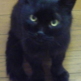 黒猫(成猫)の男の子