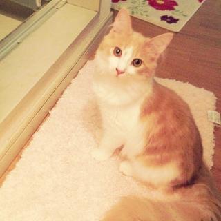 メインクーン♂子猫*甘えん坊さん
