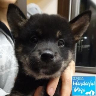 「つよぽん」柴犬 推定4ヶ月♂