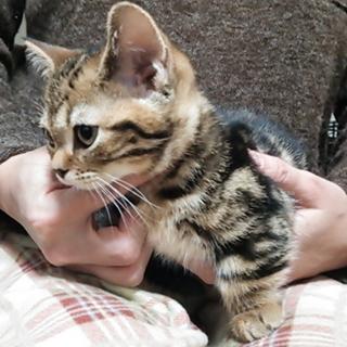 マンチカン 短足の子猫