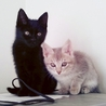 かわいすぎ!黒猫&サバトラちゃん里親さま募集中!