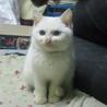 オッドアイ白猫 ミルク♀ちゃん