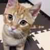 人懐こいアメショーの子猫です