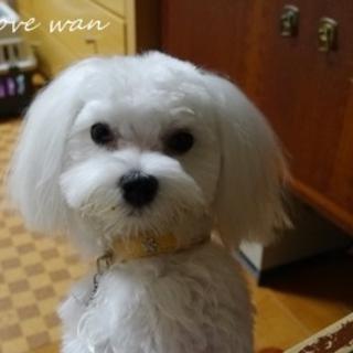 11か月の美犬マルチーズ男子2.7キロ