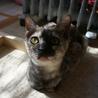 パープル色のサビ猫「小夏」ちゃん