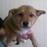 柴×ヨーキー ミックスの子犬3ヶ月里親募集!
