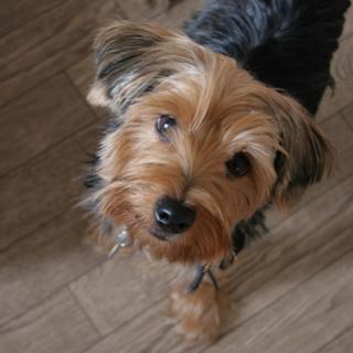 ヨーキーミックスの幼犬