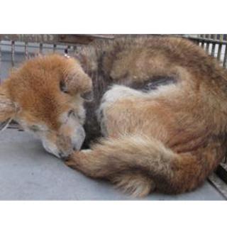 【緊急】愛護センターに収容中 柴犬♂ 老犬