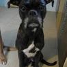ボクサー 黒っぽいトラ毛 メス。避妊済み 中型犬