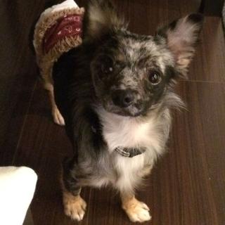 【ポポ】家庭犬としてトレーニングを頑張っています。