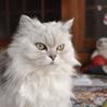 猫7歳 チンチラシルバー 避妊手術済 里親様募集