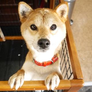 ☆小さい柴犬(MIX??)☆