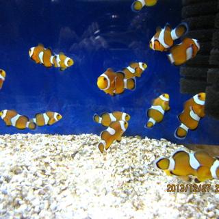 カクレクマノミ、繁殖稚魚、里親募集中です。