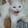 甘えん坊の白猫シンバ