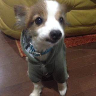 シニアの相棒犬パピヨンMIX