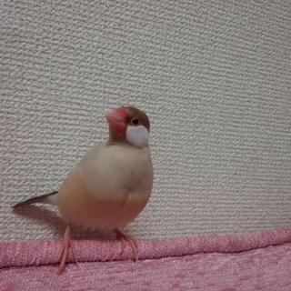 シナモン文鳥の女の子