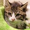 ◆キジ白猫2013-13生後2カ月の子猫