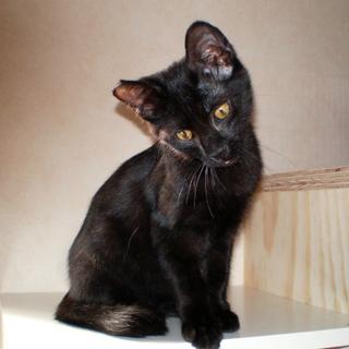元気いっぱい黒猫子猫♥ノア♥男の子手術済