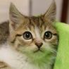 ◆キジ白猫2013-14生後2カ月の子猫