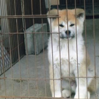秋田犬の4ヶ月の男の子です