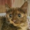 珍しいチョコレート色のサビ猫 チョコちゃん