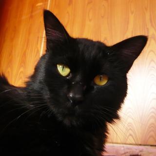 交通事故でオムツ猫になった黒猫くん