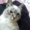 生後4ヶ月の白猫のメイの里親さん募集です