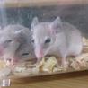 スパイニーマウス里親募集(3匹)