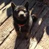 純血の甲斐犬5ヶ月です!