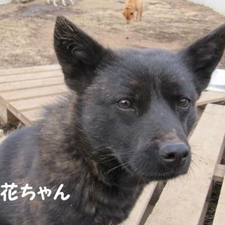 甲斐犬 2歳