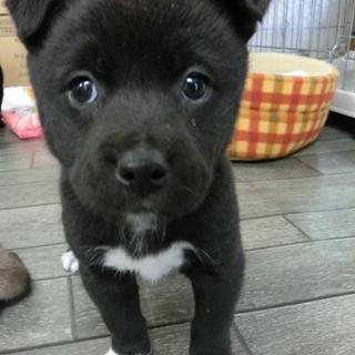 たれ耳白ソックス子犬「レオくん(仮名)」